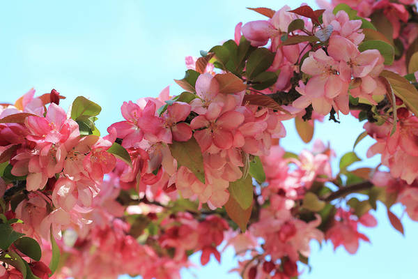 Photograph - Pink Blossoms by Angela Murdock