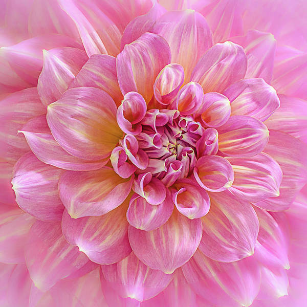 Photograph - Pink Blush Dahlia by Julie Palencia