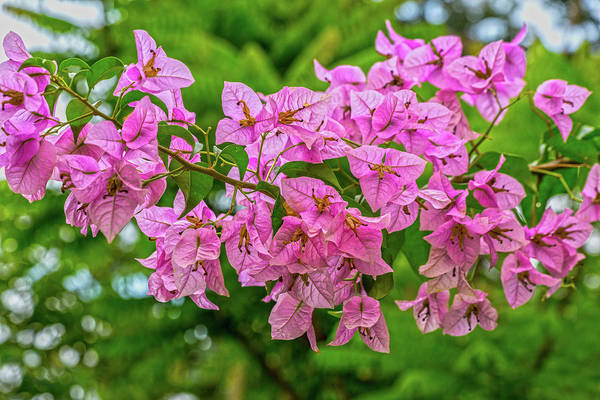 Wall Art - Photograph - Pink Bougainvillea Flowers by Betsy Knapp