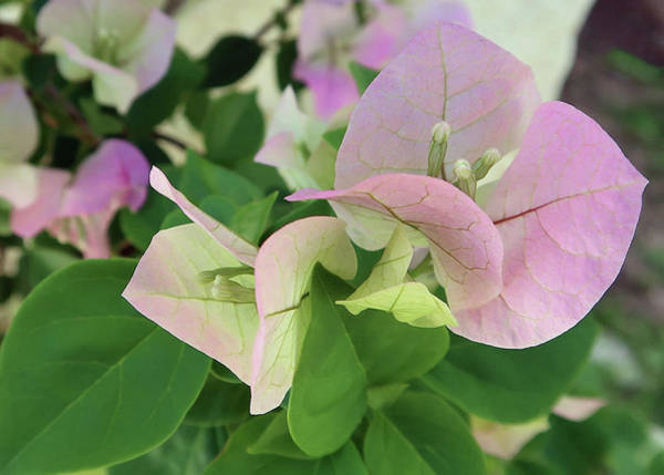 Photograph - Pink Bougainvillea Macro by Connie Fox