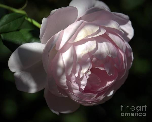 Photograph - Pink Cabbage Rose by Patricia Strand