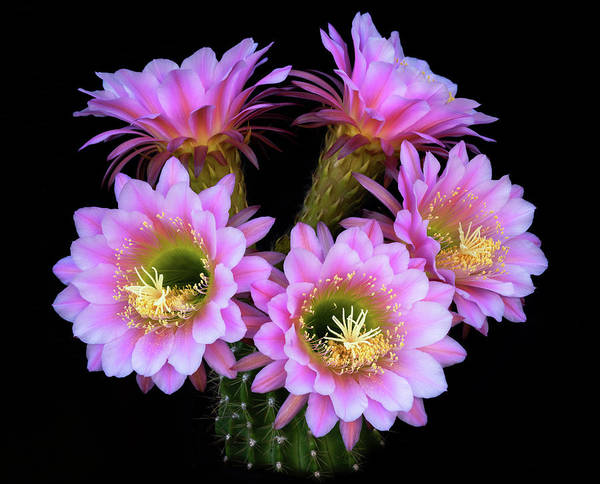 Wall Art - Photograph - Pink Cacti Bouquet  by Saija Lehtonen
