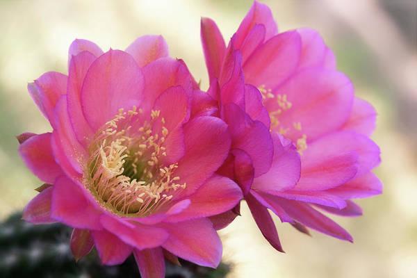 Wall Art - Photograph - Pink Cacti Flowers At Dawn  by Saija Lehtonen