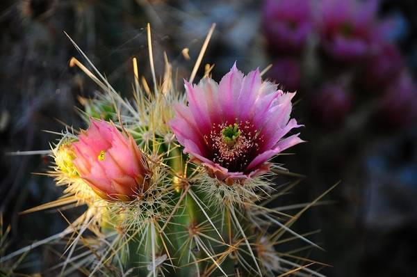 Photograph - Pink Cactus Flower by Susie Rieple