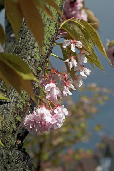 Fruit Trees Wall Art - Photograph - Pink Cherry Blossom Against Grey Sky by Andrew Holt