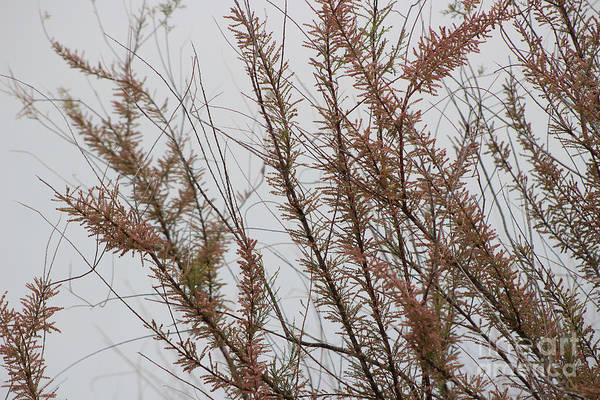 Photograph - Pink Chinese Saltcedar On Misty Gray Skies by Colleen Cornelius