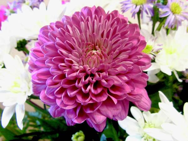 Photograph - Pink Chrysanthemum by Stephanie Moore