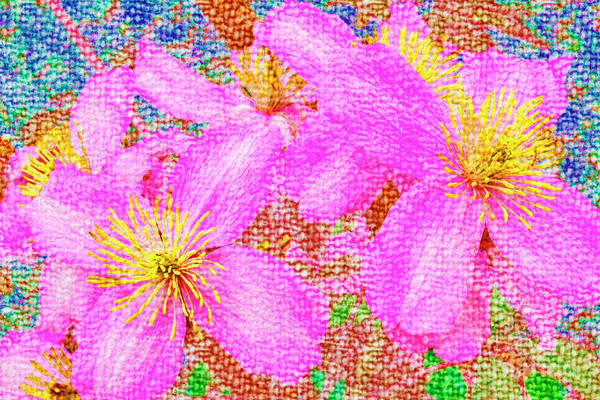 Photograph - Pink Clematis by Nigel Dudson