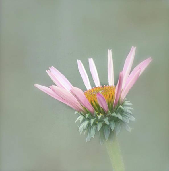 Coneflowers Photograph - Pink Cone Flower by Kim Hojnacki