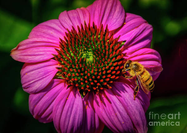Photograph - Pink Coneflower And A Bee by Janice Pariza