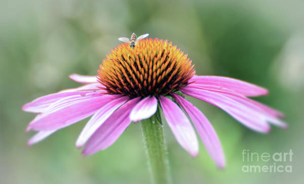 Photograph - Pink Coneflower And Visitor by Kerri Farley