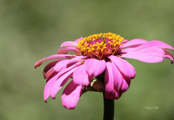 Wall Art - Photograph - Pink Coneflower In Pastel by Suzanne Gaff