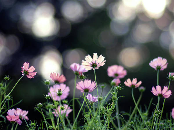 Beginnings Photograph - Pink Cosmos Flower by Marie Eve K.a.