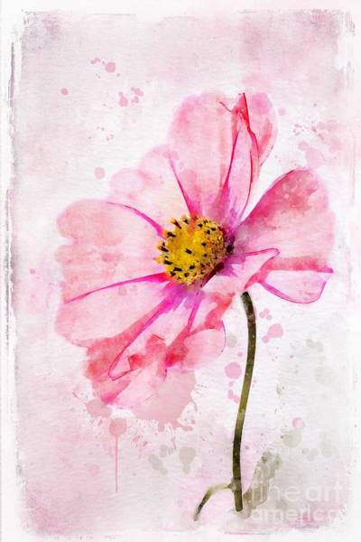 Cosmos Painting - Pink Cosmos by John Edwards