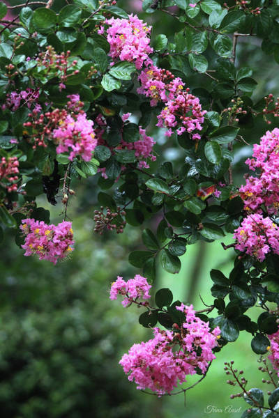 Photograph - Pink Crape Myrtle Tree by Trina Ansel