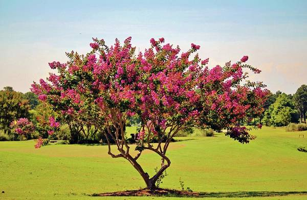 Photograph - Pink Crepe Myrtle by Cynthia Guinn