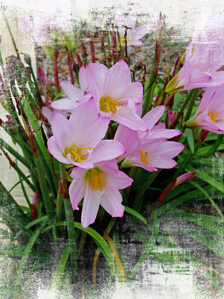 Taper Photograph - Pink Crocus Flowers by Trudee Hunter