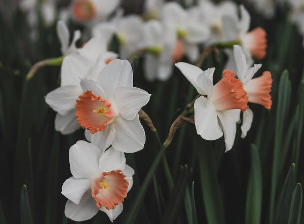 Photograph - Pink Cup Daffodils by Keith Smith