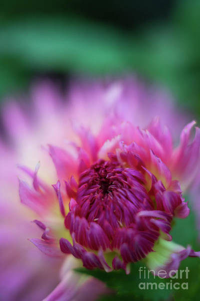 Wall Art - Photograph - Pink Dahlia Burst Of Light by Mike Reid