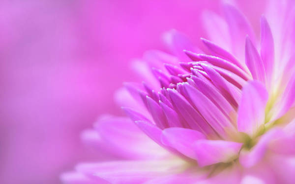 Photograph - Pink Dahlia Dreams by Mary Jo Allen