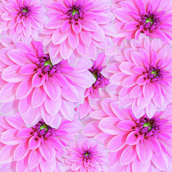 Pink Dahlia Flower Design Art Print