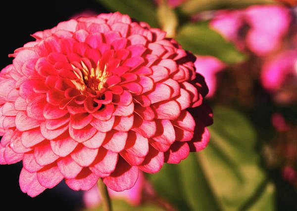 Photograph - Pink Dahlia  by JAMART Photography