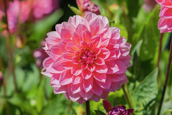 Photograph - Pink Dahlia by Jonathan Hansen