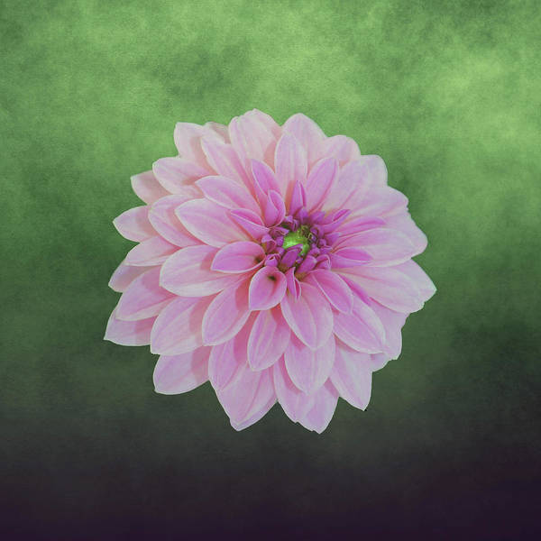 Mixed Media - Pink Dahlia On Green by Johanna Hurmerinta