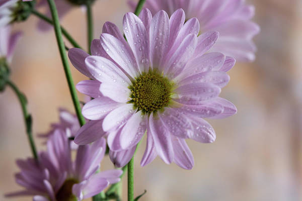 Photograph - Pink Daisies-5 by Jennifer Wick