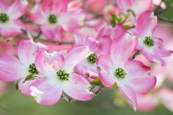 Wall Art - Photograph - Pink Dogwood Beauty by Mary Ann Artz