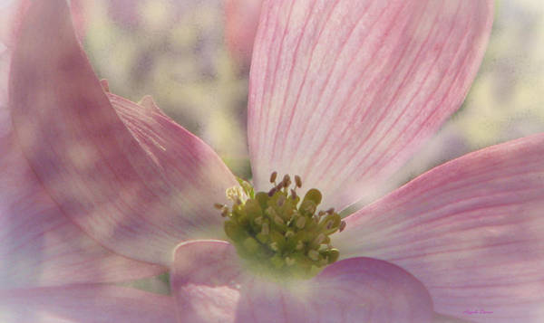 Photograph - Pink Dogwood Dreams by Angela Davies