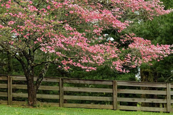 Wall Art - Photograph - Pink Dogwood Tree In Full Bloom by Adam Jones