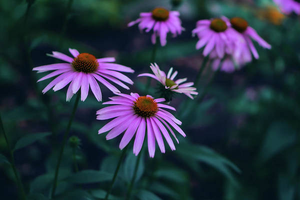 Photograph - Pink Echinacea by Jason Fink