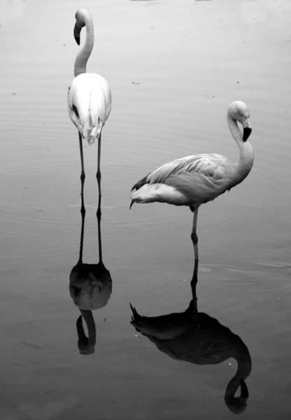 Photograph - Pink Flamingo by Sffs