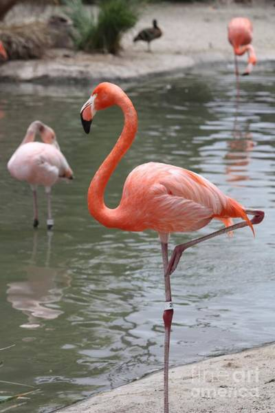 Neck Brace Photograph - Pink Flamingo With An Itch by John Telfer