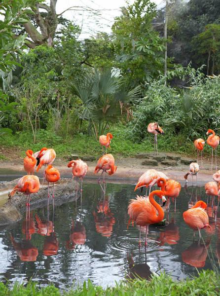 Bermuda Photograph - Pink Flamingos Bathing In Standing Water by Michael Cogliantry