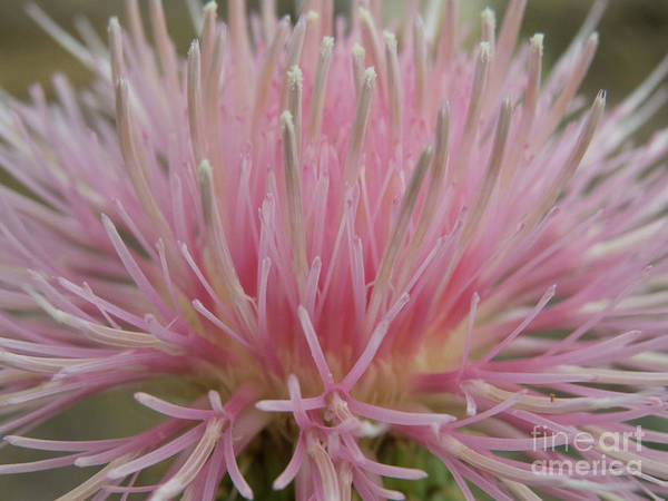 Photograph - Pink Flower Blossom On A Wildflower Weed by Christy Garavetto