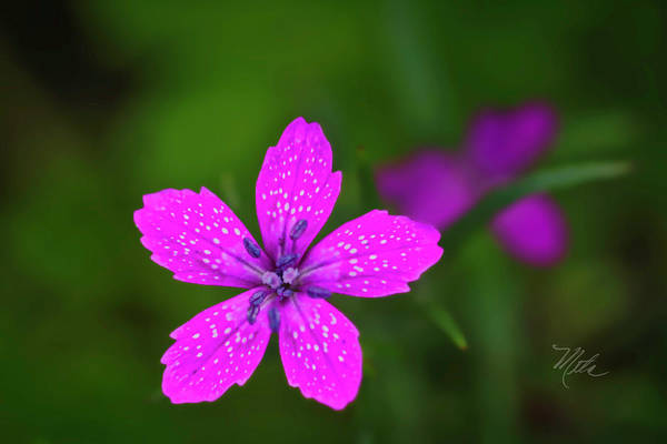 Photograph - Pink Flower by Meta Gatschenberger