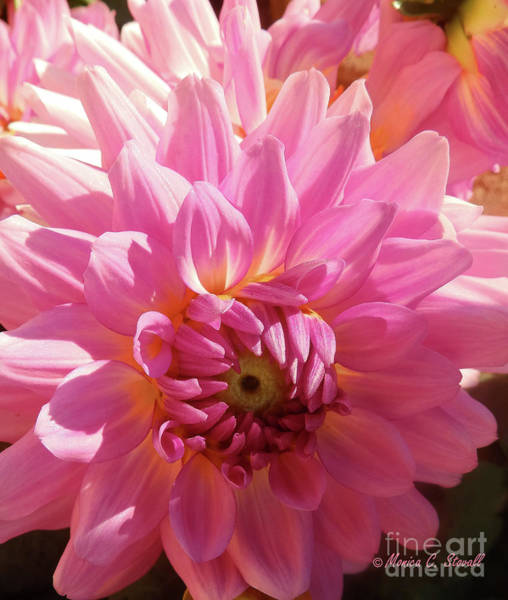 Photograph - Pink Flower No. 31 by Monica C Stovall