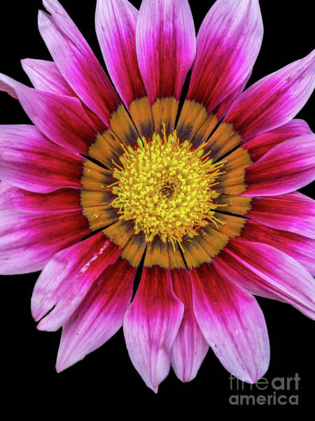 Photograph - Pink Flower On Black Background by Tony Baca