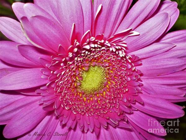 Photograph - Pink Flowers P4 by Monica C Stovall