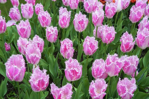 Wall Art - Photograph - Pink Fringed Tulips Fancy Frills by Jenny Rainbow