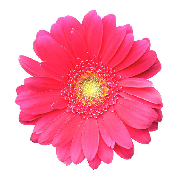 Daisy Photograph - Pink Gerbera Daisy Isolated On White by Jill Fromer