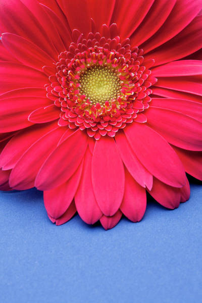 Blue Background Photograph - Pink Gerbera Daisy On Blue Background by Jill Fromer