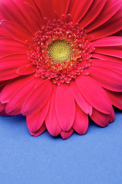 Daisy Photograph - Pink Gerbera Daisy On Blue Background by Jill Fromer