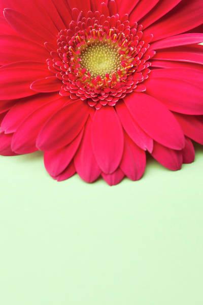 Daisy Photograph - Pink Gerbera Daisy On Light Green by Jill Fromer