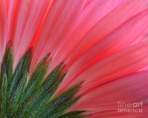 Wall Art - Photograph - Pink Gerbera Flower Macro by Tea Maeklong