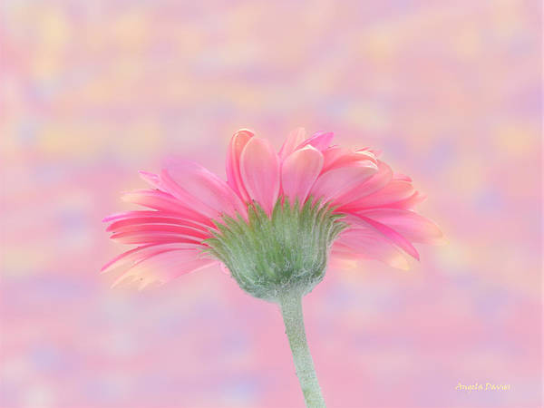 Photograph - Pink Gerbera Sunrise by Angela Davies