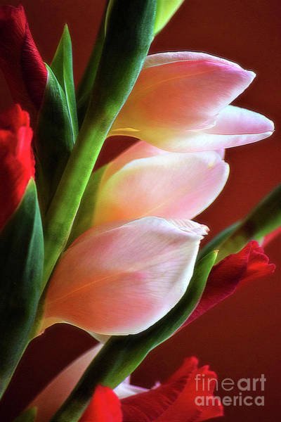 Photograph - Pink Gladiolus by Patti Whitten