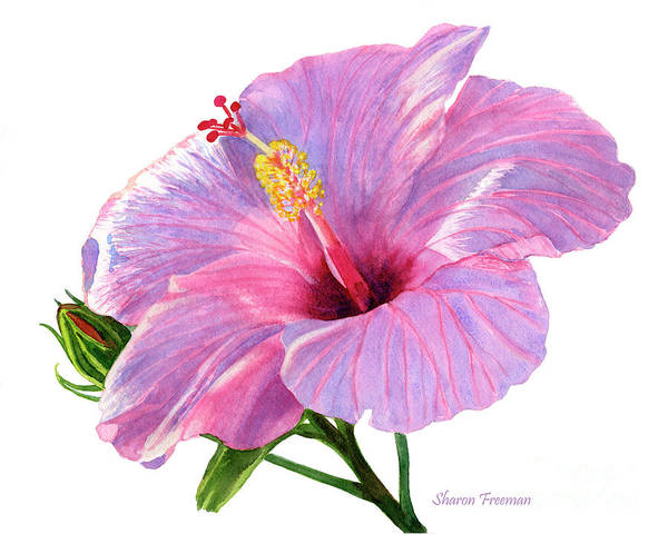 Hibiscus Painting - Pink Hibiscus Blossom With Blue Shadows by Sharon Freeman